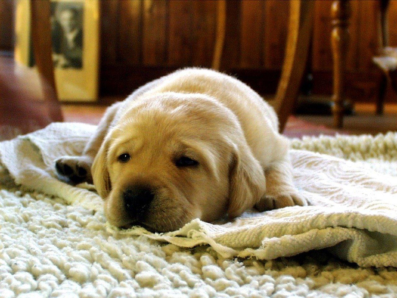 Pies w mieszkaniu – czy to dobry pomysł?