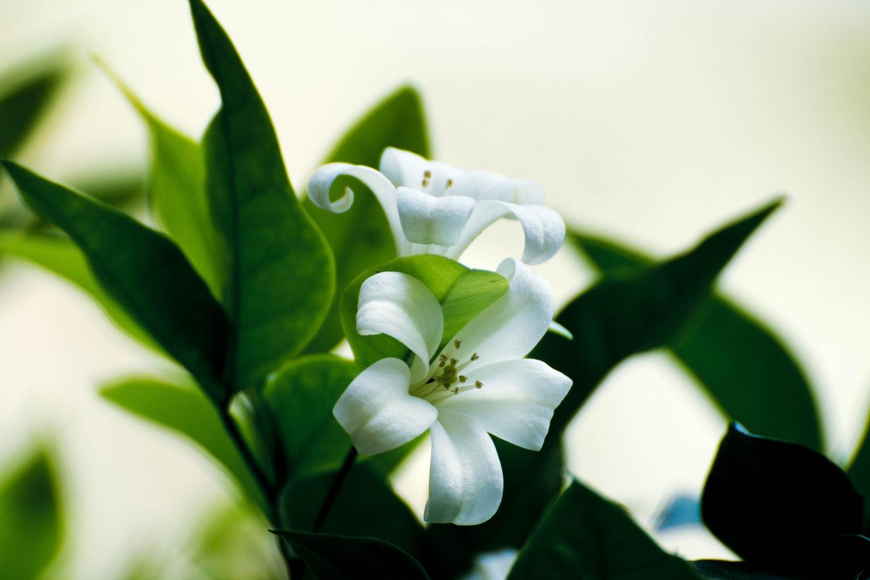 Uprawa lilii na balkonie – co warto wiedzieć?